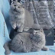 Длинношерстные котята британской породы